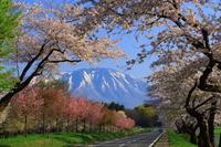 岩手山と桜並木