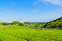 青空 新緑の茶畑と新幹線