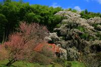 福島県郡山市 雪村桜