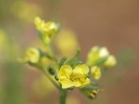 ブロッコリ-の花
