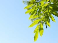 新緑のアベマキ