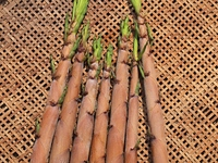 ハチクの竹の子