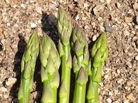 グリ-ンアスパラガスの収穫