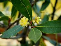 月桂樹の花