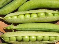 グリ-ンピ-スの収穫
