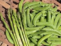 スナップエンドウとアスパラガスの収穫