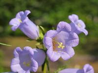 薄紫のホタルブクロの花