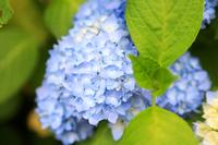(国宝)金剛輪寺に咲く紫陽花