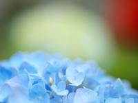 色づき始めたアジサイの花