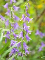 薄紫色のホタルブクロの花