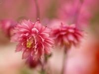 ピンクのオダマキの花