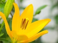 スカシユリの花