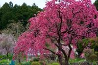 春に咲く小紅