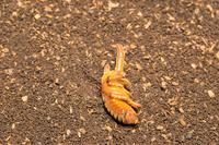オスのカブトムシの蛹
