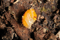オトシブミ蛹