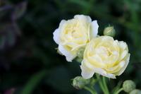 バラの花(ゴールデン・ボーダー)