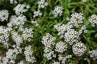 スイートアリッサムの花