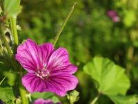 マロウの花