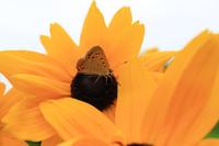 ルドベキアの花の蜜を吸うベニシジミ