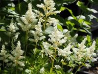 白花アスチルベ