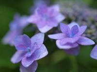 ガクアジサイの花