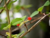 ウグイスカグラの赤い実