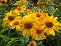 ルドべキアの花
