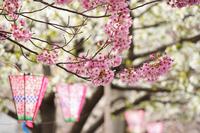 桜の花と提灯
