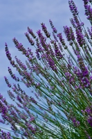 香るラベンダー畑
