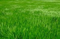 夏の水田・風にたなびく稲