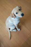 子犬のラブラドール・レトリバー