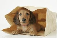 紙袋の中の子犬