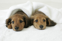 タオルを被る子犬達