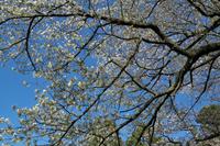 伊豆半島 黄金崎の桜