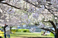 春の晴れた公園の桜