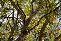 白樺の樹(瑞垣山)