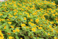 メランポジウムの花畑