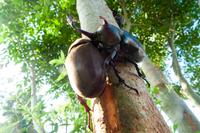 木に群がるカブトムシ