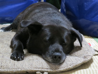 可愛い黒犬