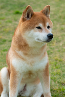 遠くを見る柴犬