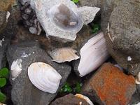 化石を含む礫
