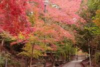 京都府宇治市 さわらびの道の紅葉