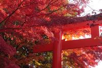 京都 下鴨神社 鳥居の紅葉