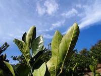 青島ミカンの葉