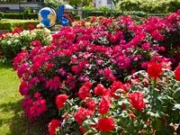 初夏の薔薇園