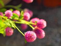 ピンクのセンニチコウ