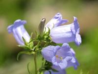 カンパニョラの花