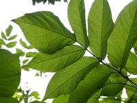 ヤマウドの葉