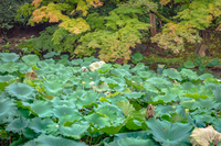 岡山後楽園 花葉の池の蓮