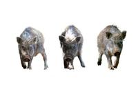 切り抜き用 3頭の日本イノシシの子供 年賀、干支、新年イメージ